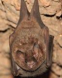 bat Боливия Стоковая Фотография RF