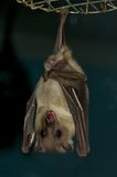 'bat' Image stock