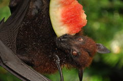 A Bat Royalty Free Stock Photo