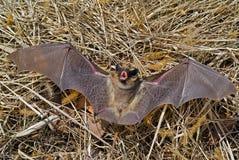 Bat 14 Stock Photos