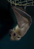 Bat Royalty Free Stock Photography