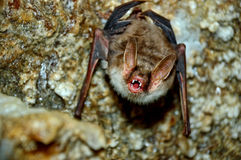 Bat. Cave in its natural habitat Royalty Free Stock Photo