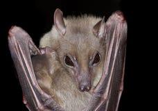 Bat. Close portrait of bat face Stock Photo