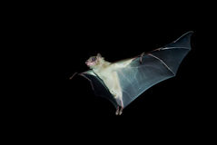 'bat' Photo libre de droits