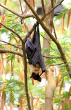 Bat. Hanging upside down on the tree stock photography