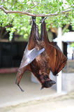 Bat. Hanging upside down on the tree stock images