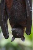 Bat. Malayan bat hanging on a tree branch Stock Photo