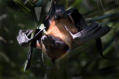 Bat. South American Fruit bat hanging from a tree Royalty Free Stock Image