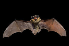 Bat 6 Royalty Free Stock Photo