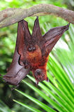 Bat. The bat is a mammal from the chiroptera order; they are generally insectivores ou frugivores but few are carnivorous Royalty Free Stock Photo