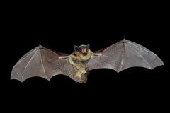 Bat 8 Stock Photography