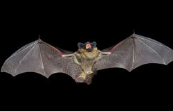 Bat 9 Royalty Free Stock Photos