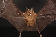 Free Bat Royalty Free Stock Photo - 9694815