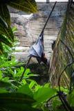 Bat in Bali birds and reptiles park Stock Photos