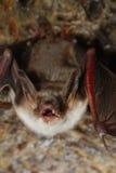 Bat with bared teeth Stock Photo