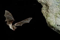 Bat buzzard, myotis myotis, flight in his cave royalty free stock photography