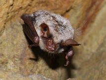 Bat in cave. Bats in a cave in the Czech Karst Royalty Free Stock Photo