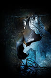 Bat in cave. A bat hanging upside down in a cave looking out a grave yard.  Halloween concept Royalty Free Stock Image