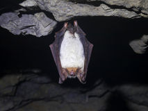 Bat in the cave Royalty Free Stock Photo
