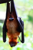 Bat (Chiroptera) Stock Photos