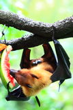 Bat (Chiroptera) Stock Photography