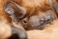 Bat. Close up of a bat (Pipistrellus is a genus of bats in the family Vespertilionidae) sleeping on the ground Stock Photo