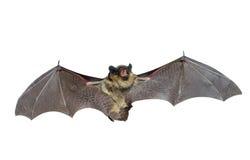 Bat 3 Royalty Free Stock Photography