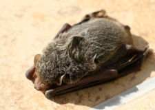 Bat Stock Photo