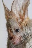 'bat' Coeur-flairée (cor de Cardioderma) photos libres de droits