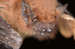 Bat - Common noctule. Common bat in nature with light Royalty Free Stock Photo