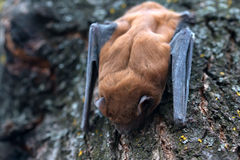 Bat. Common noctule ( Nyctalus noctula ) is sleeping on a tree royalty free stock photos
