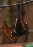 'bat' de fruit 004 Image libre de droits