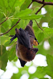 'bat' de fruit Image libre de droits