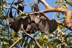 'bat' de fruit Photos libres de droits