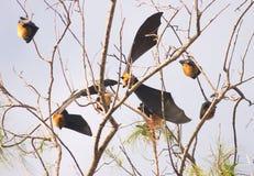 'bat' de fruit des Seychelles Image libre de droits