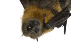 'bat' de fruit (renard de vol) s'arrêtant upside-down sur le petit morceau Photographie stock libre de droits