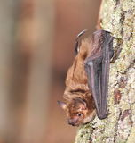 'bat' de grand Brown (fuscus d'Eptesicus) Image stock