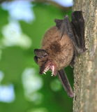 'bat' de grand Brown (fuscus d'Eptesicus) Photos libres de droits