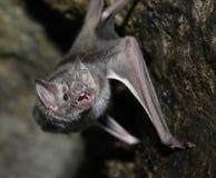 'bat' de vampire Photos libres de droits