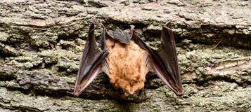 Bat detector. Dummy of bat wooden background. Ugly bat. Forelimbs adapted as wings. Museum of nature. Mammals naturally. Capable of true and sustained flight royalty free stock photography