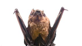 Bat detector. Dummy of bat white background. Ugly bat. Forelimbs adapted as wings. Museum of nature. Mammals naturally. Capable of true and sustained flight royalty free stock photo