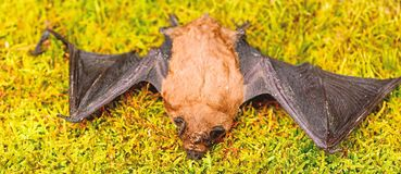 Free Bat Detector. Ugly Bat. Dummy Of Wild Bat On Grass. Wild Nature. Forelimbs Adapted As Wings. Mammals Naturally Capable Royalty Free Stock Photos - 152851988