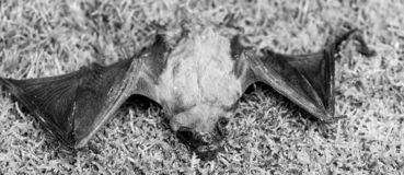Bat detector. Ugly bat. Dummy of wild bat on grass. Wild nature. Forelimbs adapted as wings. Mammals naturally capable. Of true and sustained flight. Bat emit royalty free stock images