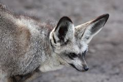 Bat Eared Fox Royalty Free Stock Photography