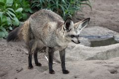 Bat Eared Fox Royalty Free Stock Images