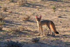 Free Bat Eared Fox Royalty Free Stock Image - 151450186