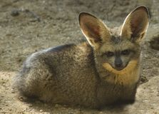 Bat Eared Fox Royalty Free Stock Image