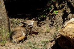 Bat eared fox Stock Images