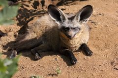 Bat-eared fox Stock Photos