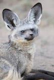 Bat Eared Fox. Portrait of a Bat Eared Fox Royalty Free Stock Photography